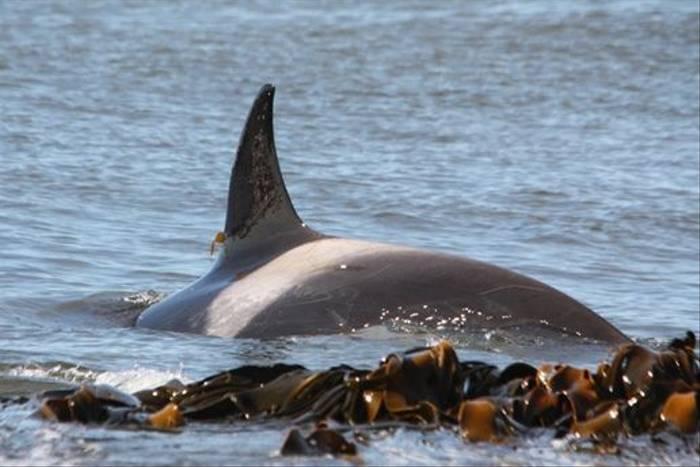 Orca (Alan Henry)