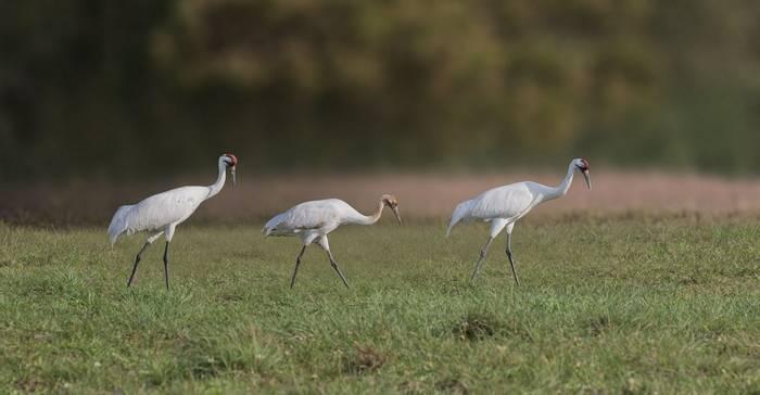 Whooping Cranes, Texas Shutterstock 630312449