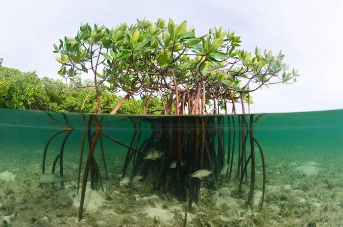 Mangrove, Bahamas