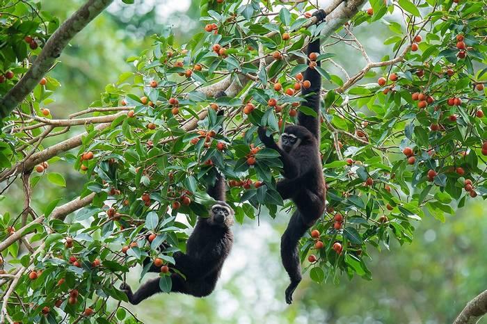 Agile Gibbons, Borneo Shutterstock 526431034