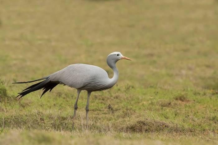 Blue Crane, South Africa shutterstock_757846576.jpg