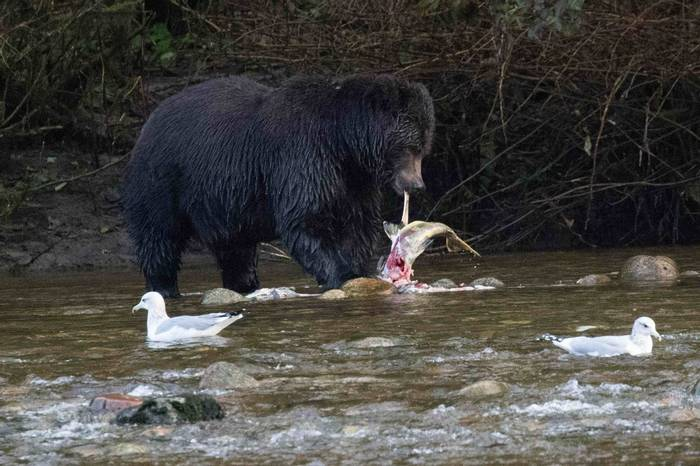 Grizzly Bear eating fish (Chris Hutchinson)
