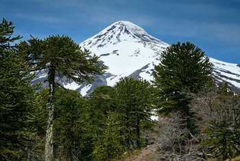 Monkey Puzzle Trees and Lanin Volcano shutterstock_75951670.jpg
