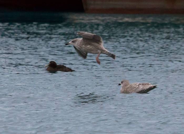 Glaucous Gull (Charles McMaster)