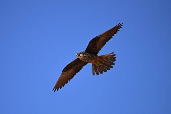 Eleonora's Falcon shutterstock_1535663963.jpg