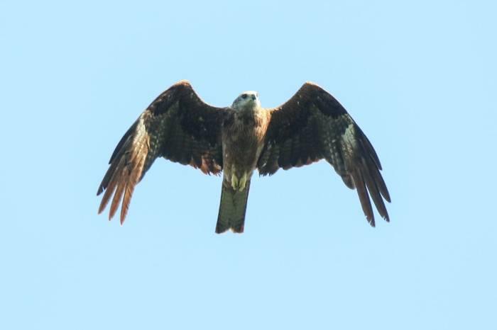 Black Kite (Wim Bovens)