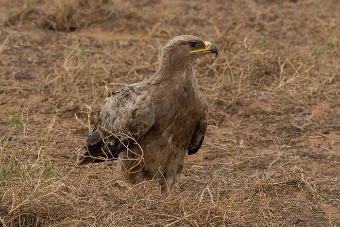 Steppe Eagle (Alan Curry)