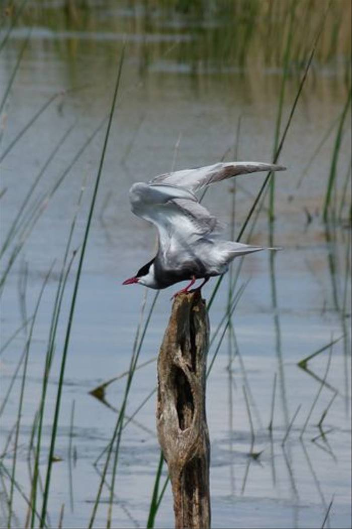 Whiskered Tern (Tom McJannet)