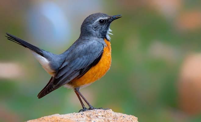 White-throated Robin shutterstock_1835965165.jpg