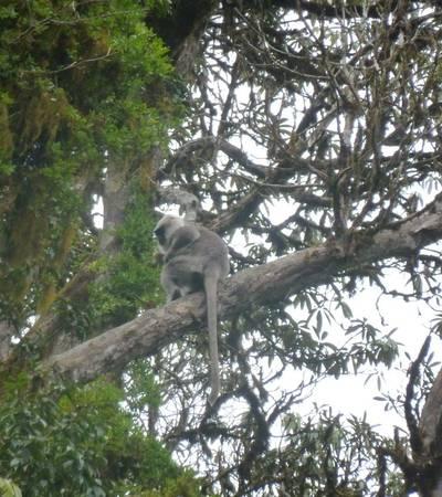 Common Langur monkey near Tadapani