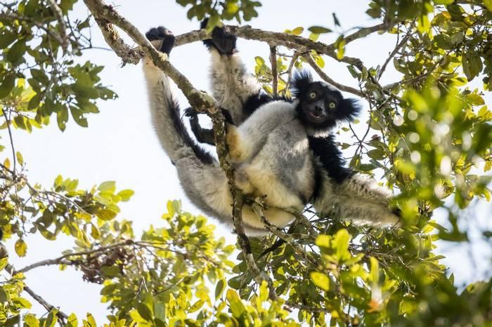 Indri, Madagascar Shutterstock 737071003