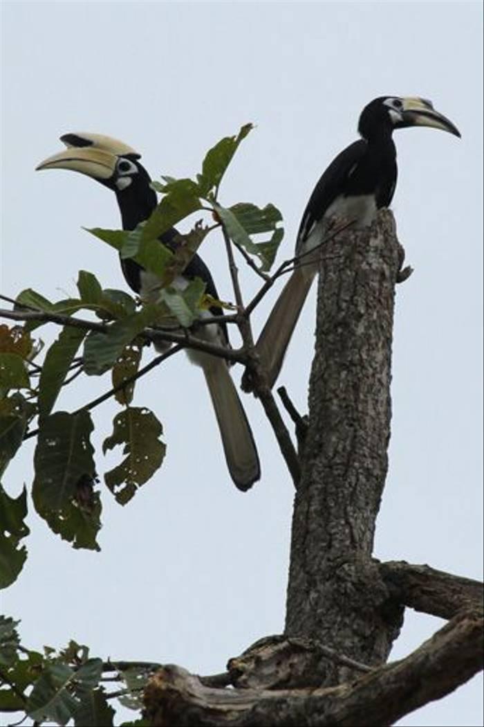 Oriental Pied Hornbills (Janice Fiske)