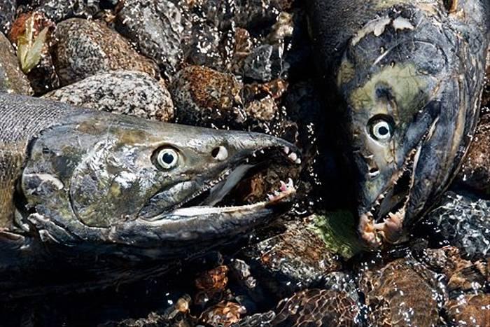 Chum Salmon (Paul Stanbury)