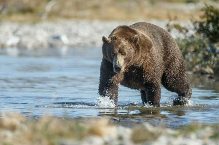 Grizzly Bear, Canada Shutterstock 414024412