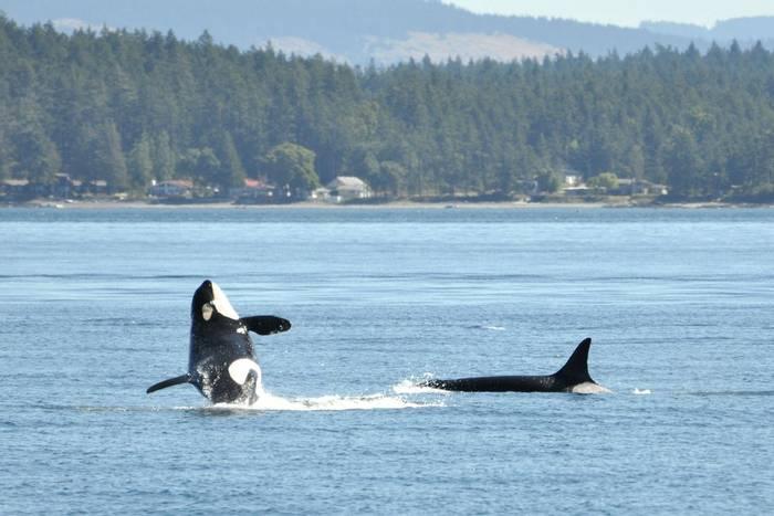 Orcas, Western Canada.jpg