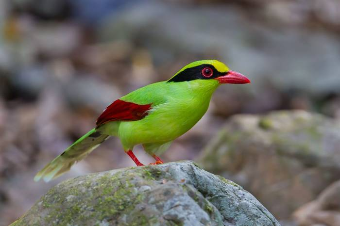 Green Magpie (Cissa chinensis)