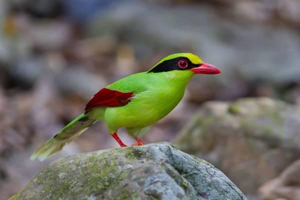 Green Magpie Shutterstock 257368429