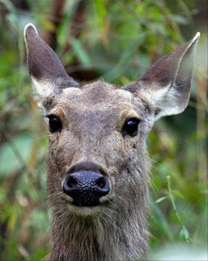 Sambar female