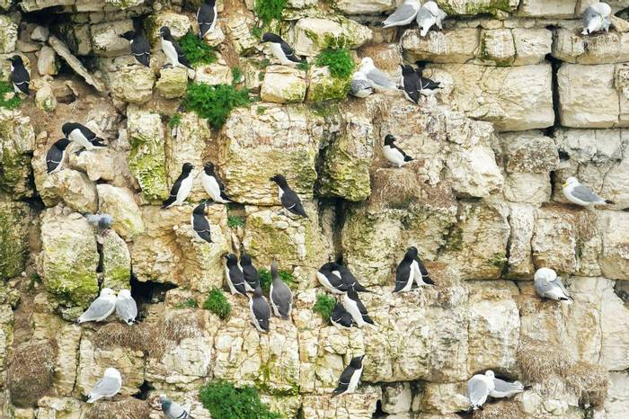 Guillemots, Kittiwakes, Razorbills and Rock Doves (Andrew Mason).jpg