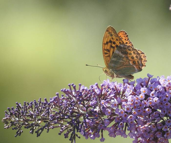 Silver-washed Fritillary, Berry Head (Mike Langman)