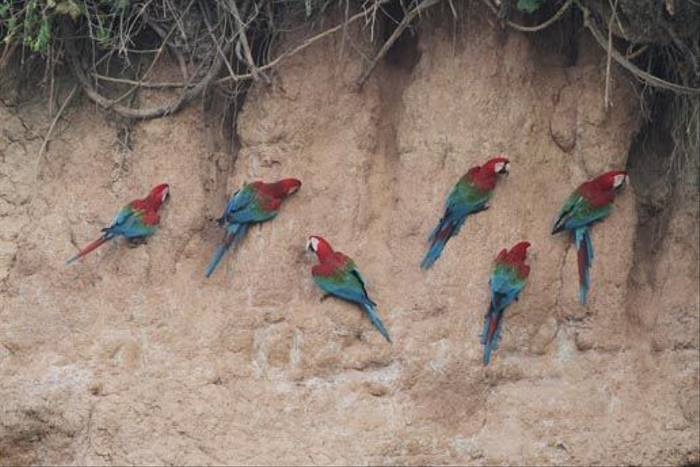 Red-and-Green Macaws (Roger Wasley)