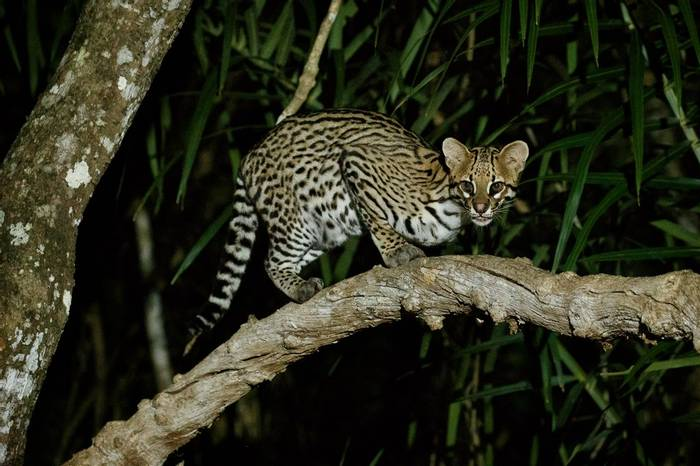 Ocelot, Southwild Pantanal, Brazil Shutterstock 791411464