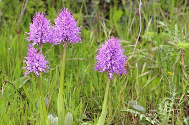 Naked Man Orchids, Greece shutterstock_763656499.jpg