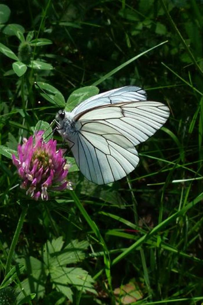 Black-veined White (Tom McJannet)