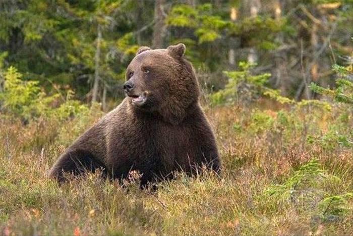 Brown Bear (Hakan Vargus)