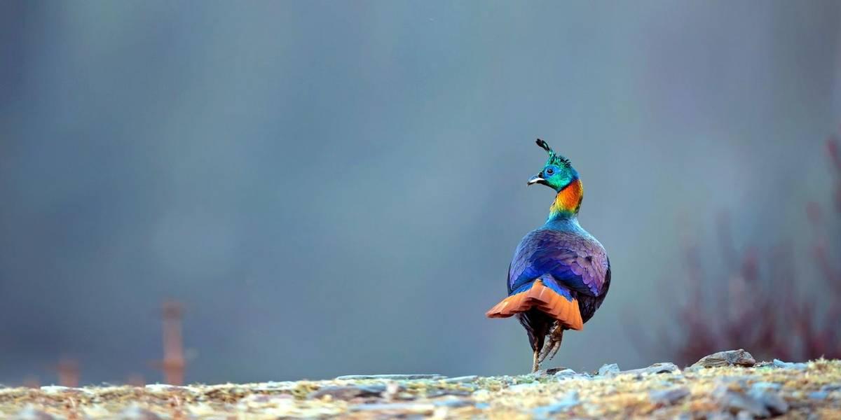 Himalayan Monal, Nepal  Shutterstock 527768491