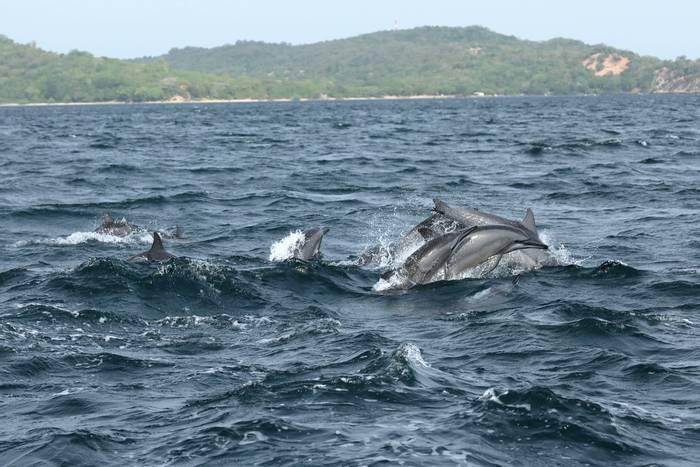 Spinner Dolphins, Trincomalee, Sri Lanka shutterstock_740773534.jpg
