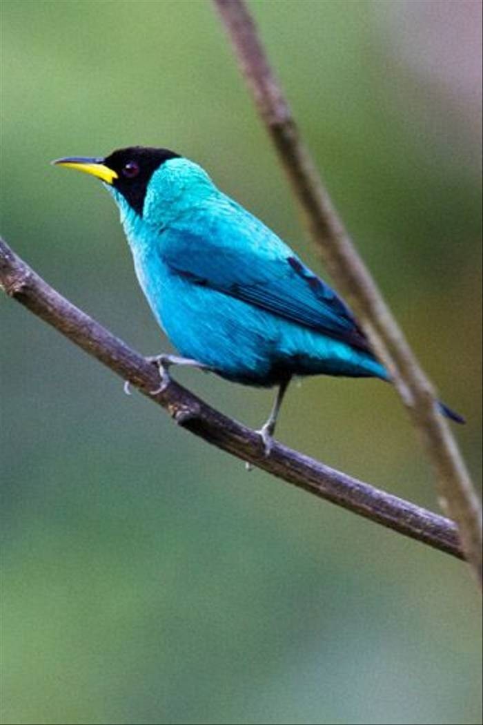 Green Honeycreeper (Ann & Walter Burns)