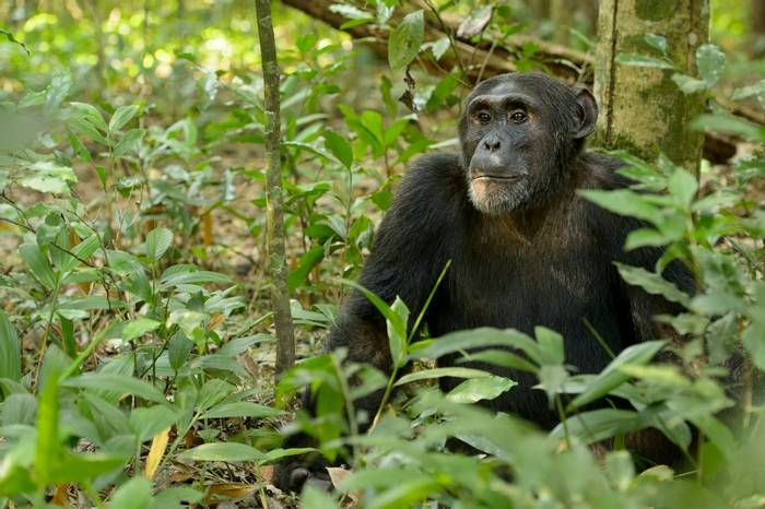 Chimpanzee Shutterstock 546403366