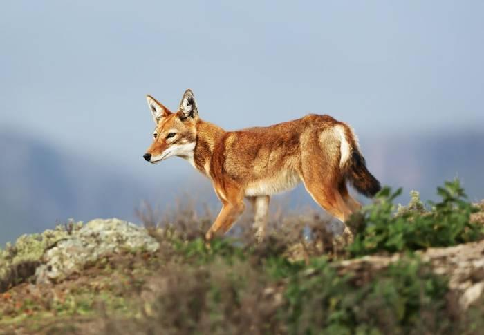 Ethiopian-Wolf,-Ethiopia-shutterstock_1411848203.jpg
