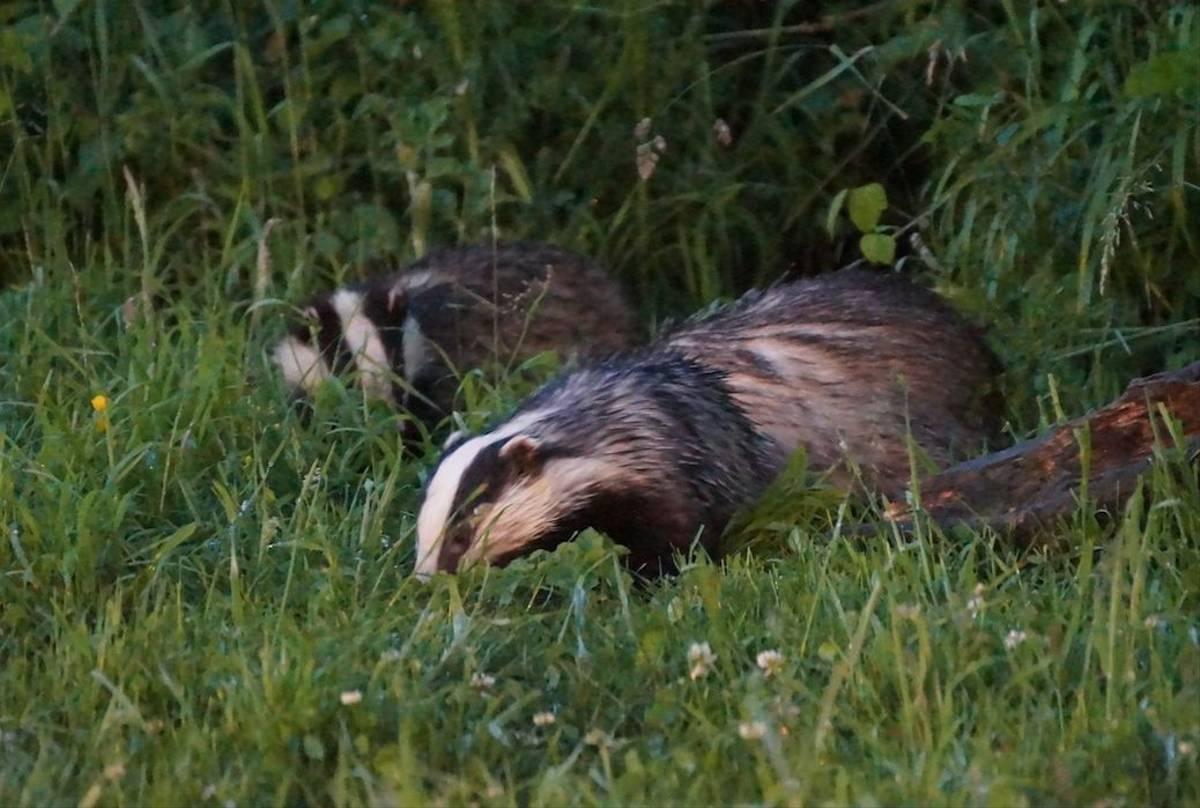 Three Badgers (Ed Drewitt)