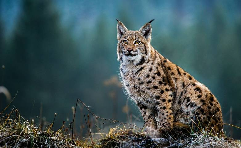 Romania - Wildlife - Eurasian Lynx - AdobeStock_169605540.jpeg