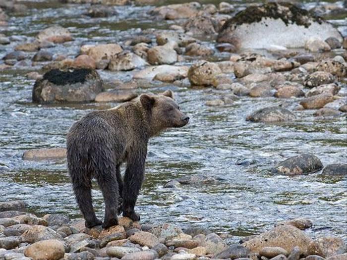 Grizzly Bear (Paul Marshall)