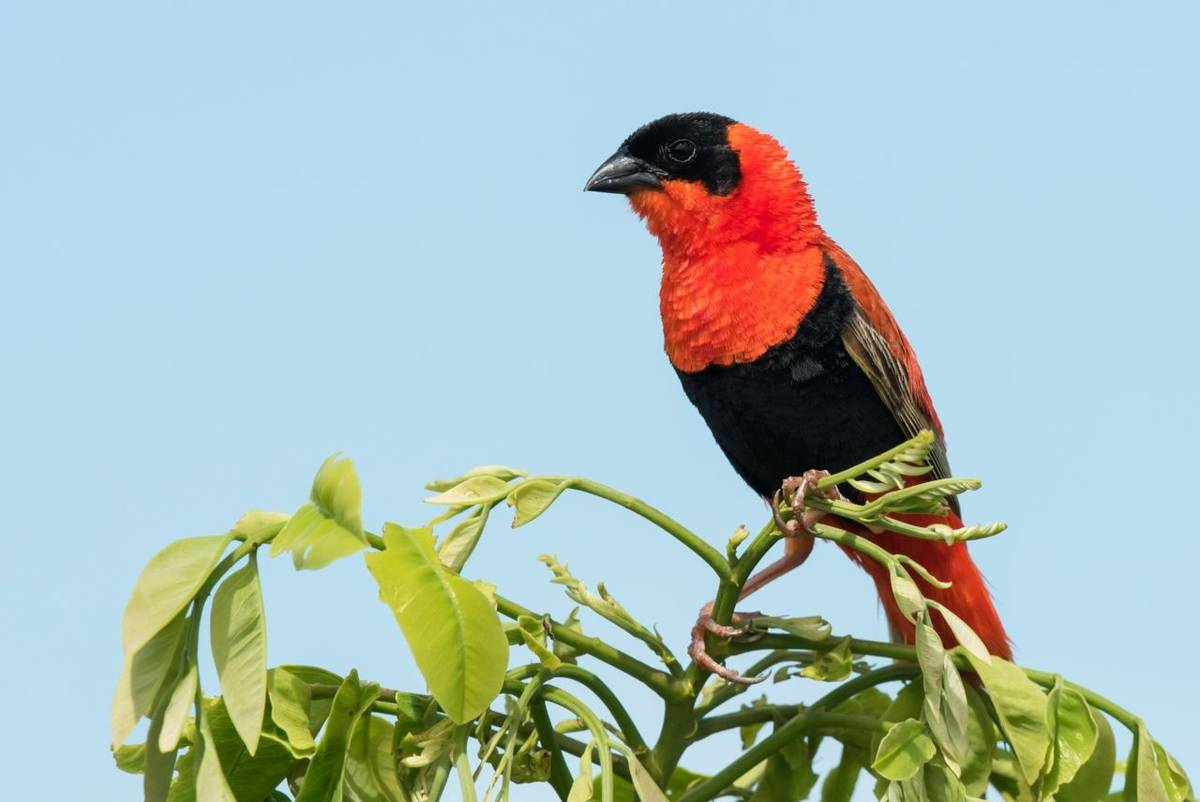 Red Bishop, Gambia shutterstock_221001646.jpg