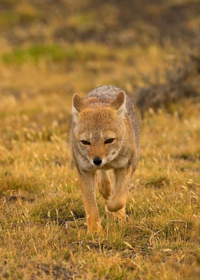 South American Grey Fox (Andrew Griffin)