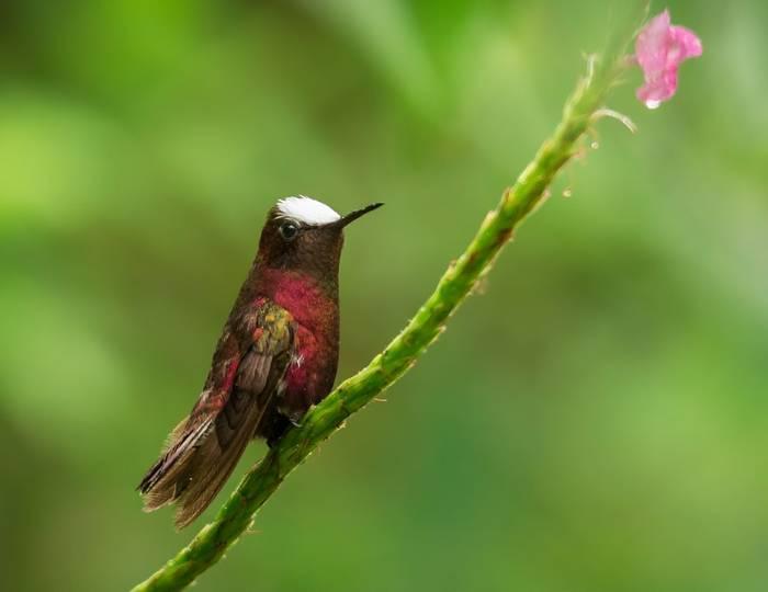 Snowcap Hummingbird, Costa Rica Shutterstock 1031784541