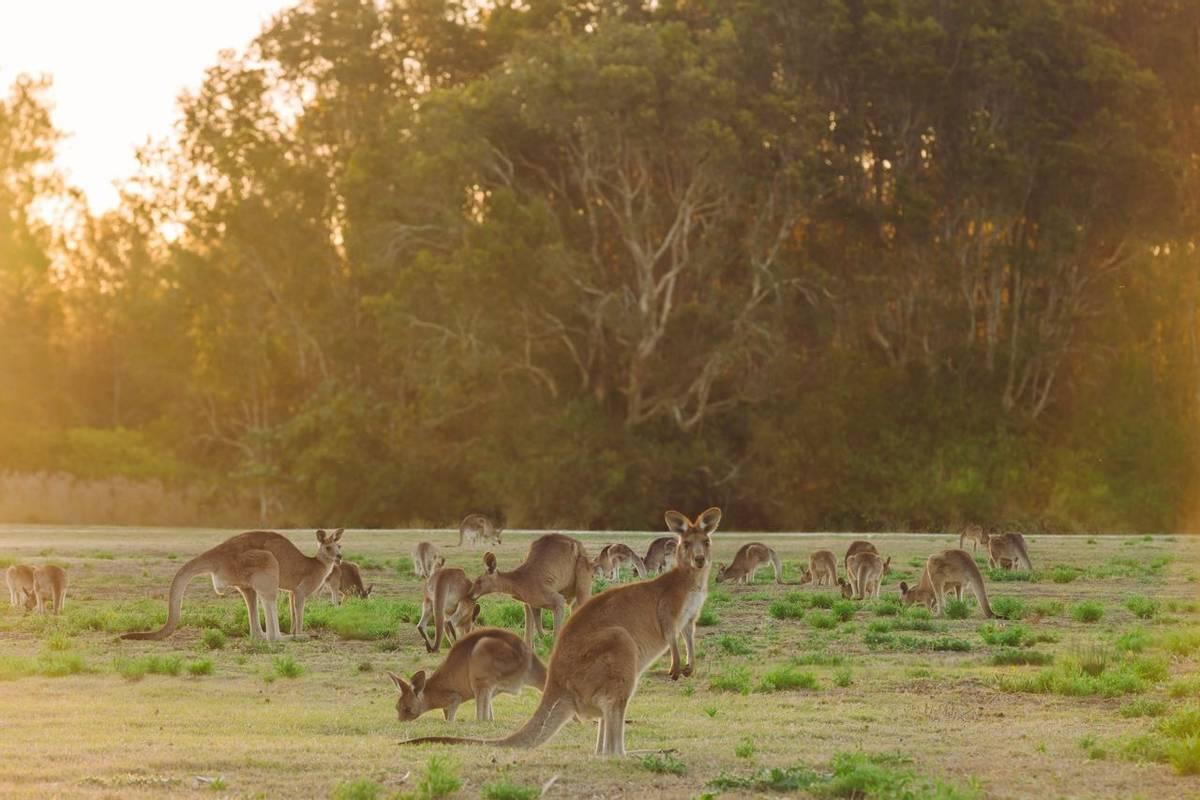 Kangaroos, Australia shutterstock_245772577.jpg