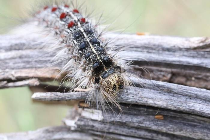 Gypsy Moth Caterpillar (Gerald Broddelez)