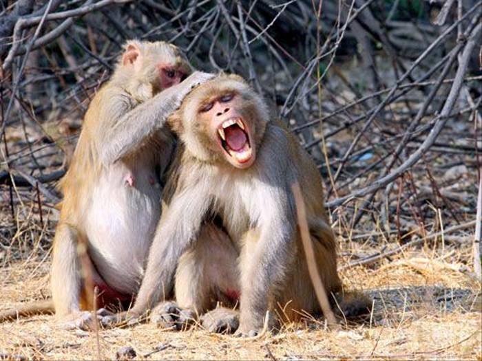 Rhesus Monkeys (Michael Haley)