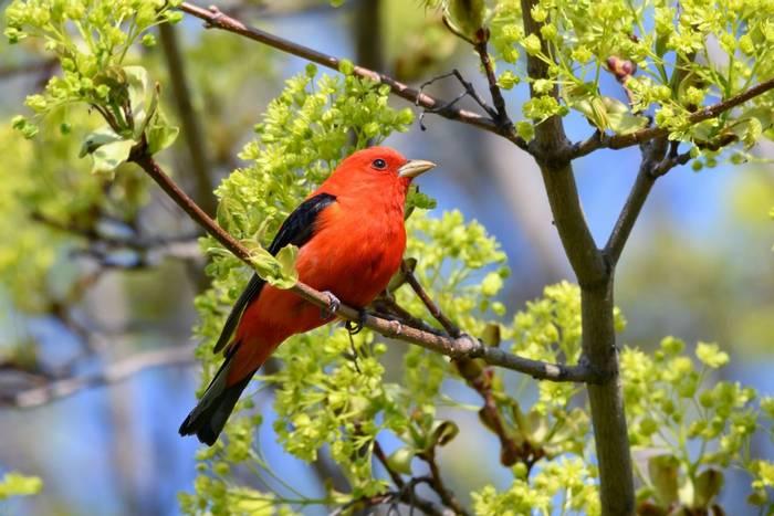 Scarlet Tanager, USA shutterstock_1453707431.jpg