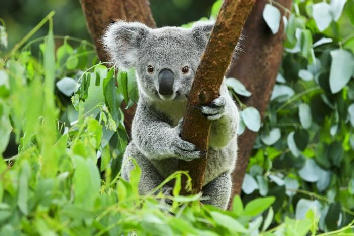 Koala, Australia shutterstock_156828680.jpg