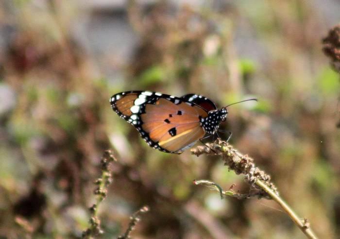 African Monarch © Tom Mabbett