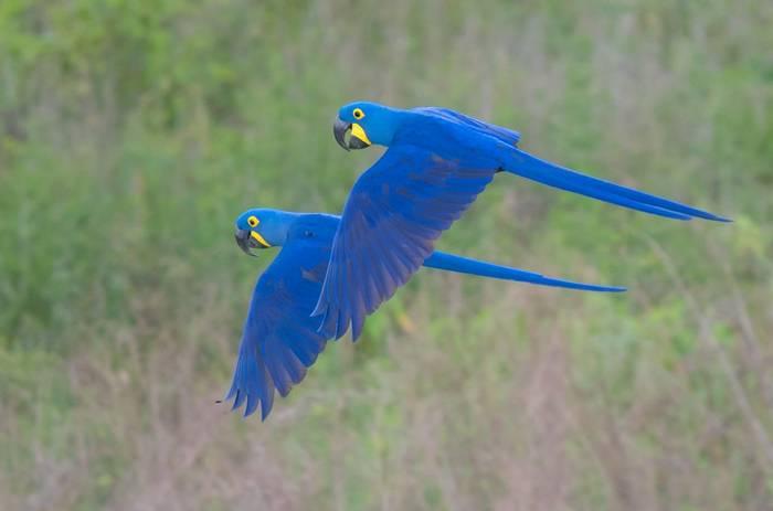 Hyacinth Macaws (Tim Melling)