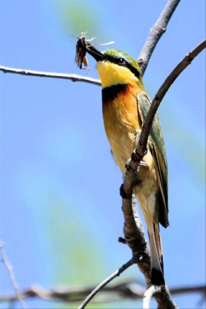 Little Bee-eater (Neil Macleod)