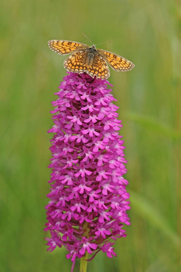 Heath Fritillary on Pyramidal Orchid (David Morris).jpg