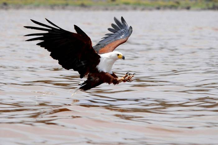 Fish Eagle Fishing, Masai Mara.